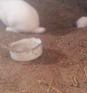 Кролики молодняк и на мясо.овцы молодняк и на мясо