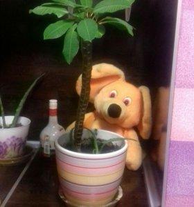 Комнатное декоративное растение, цветок Молочай