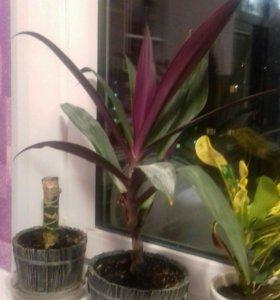 Комнатное декоративное растение, цветок Рео