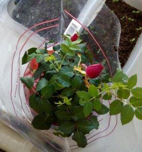 Роза эльвира  (комнатная, в горшочке)