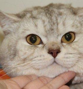 Чистокровный британский котик для вязки!