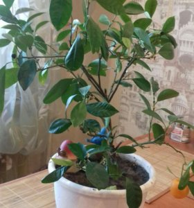 Мандариновое дерево (Лимонела)