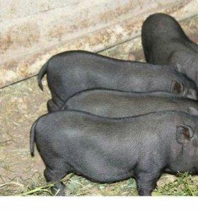 Поросят вьетнамской вислобрюхой свиньи