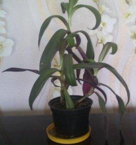Цветок«Рэо»