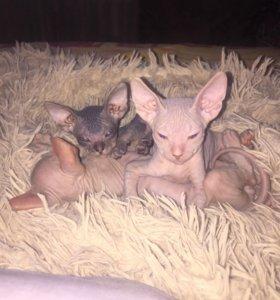 Продам лысых котят