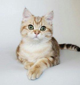 Британский плюшевый котенок