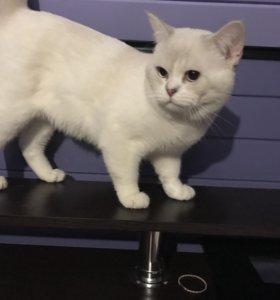 Вязка шотландский кот окрас шиншиллы