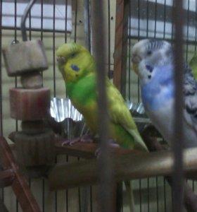 Пара вольнистих папугайчиков вместе с  клеткой