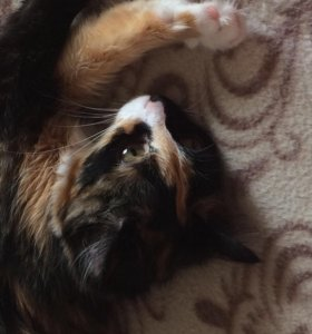 Котёнок девочка 7месяцев