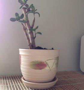 Денежное дерево вместе с кашпо