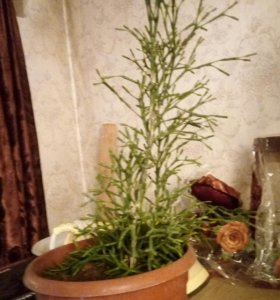 из кактусовых Хатиора
