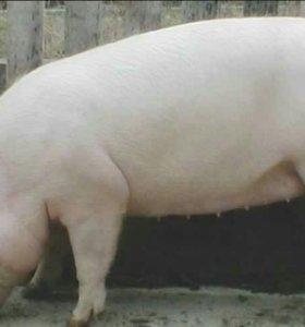 Свинина домашняя
