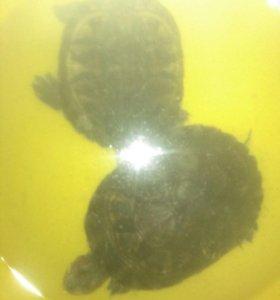 Две черепахи+аквариум