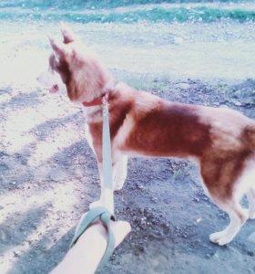 Продам собаку,породы хаски.Зовут Хатико,9 месяцев