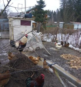 Петух,яйцо,куры несушки,цыплята