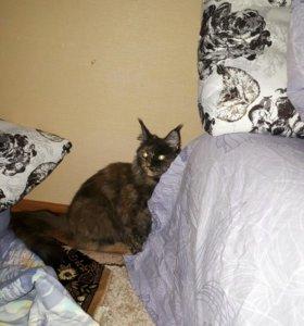 Мейн-кун, кошка