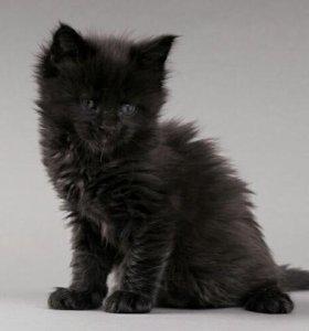 Котятя Мейн-кун