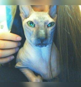 Продам взрослого кота, канадский сфинкс