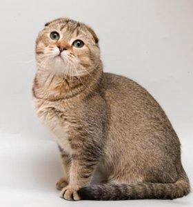 Вязка вислоухим шотландским котом