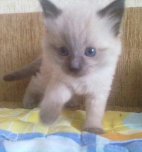 Тайский (сиамский) котёнок
