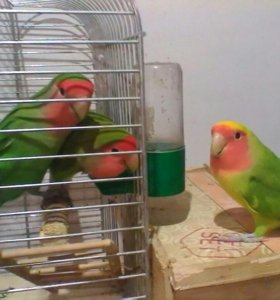 Продам попугаев неразлучников, волнистых