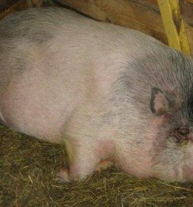 Поросная вьетнамская свинья