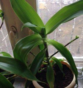 Растения Золотой ус
