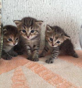 Отдам котят в добрые руки (три девочки)
