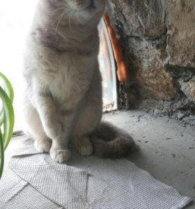 Красивая шотландская вислоухая кошечка