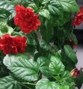 Китайская роза гибискус