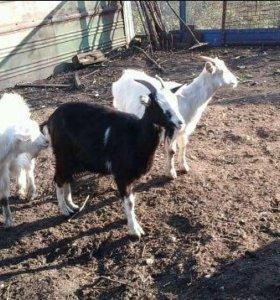 Продаём коз с козлятами