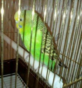 Волнистый попугай+клетка