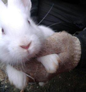 """Кролики """"Великан"""""""