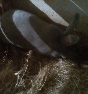 Крольчиха мясной породы голубого окраса.