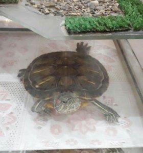 Красноухая земноводная черепаха с аквариумом