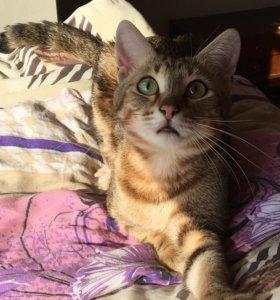 Молодой котик (кастрированный)