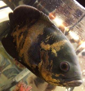 Рыба обжора
