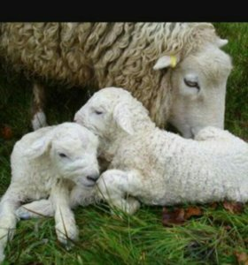Овцы с ягнатами !!!