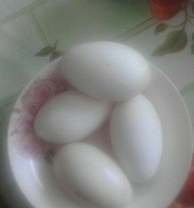 Яйцо  инкубационное гусинное