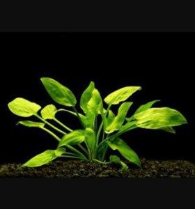 Трава криптокорина