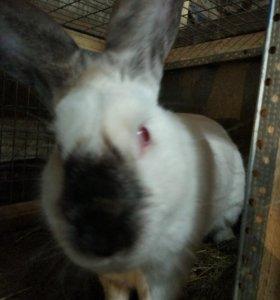 Калифорнийскии кролик 7 месяцев