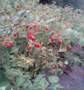 Саженцы малины(шапка маномаха,оранжевое чудо и т.д