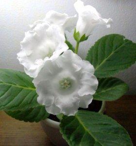 Глоксиния белая цветущая