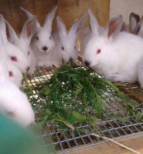 Колифорниские кролики.