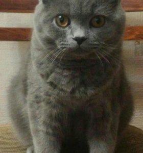 Вязка с британским котиком