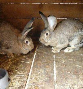 Кролики мясных пород ,мясо кроликов