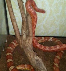 Змеи маисовые полозы