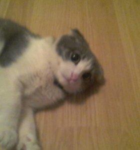 кошка весноухая