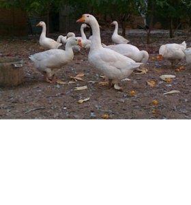 Продаю гусей порода Линда.