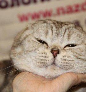 Кот скоттиш фолд для вязки
